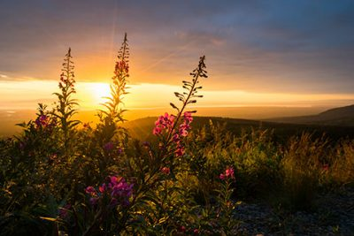 fireweed silhouetted against setting sun