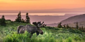 bull moose with big antlers standing on mountain in anchorage at sunset - anchorage photo tour