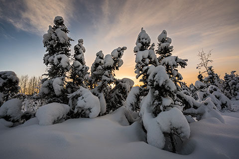black spruce trees covered with snow at sunset - winter photo tour