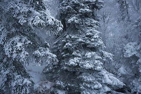 snowy spruce tree boughs in the fog - winter photo tour