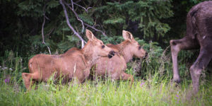 twin moose calves running after their mother - alaska photo tours