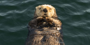 close up of sea otter floating on back - seldovia, alaska