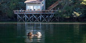 sea otter eating clams in slough - seldovia, alaska