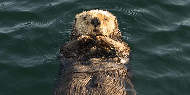 close up of sea otter floating on back - seldovia, alaska