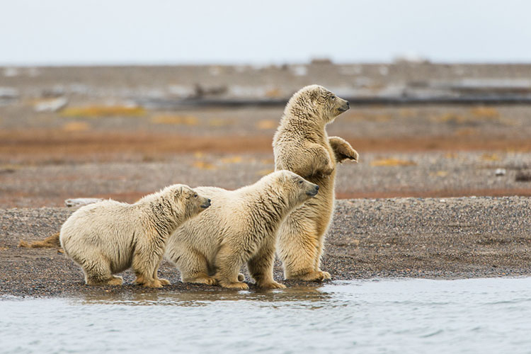 3 cute polar bear cubs on edge of water - polar bear photography tour