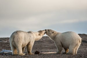 two polar bears kissing - polar bear photography tour