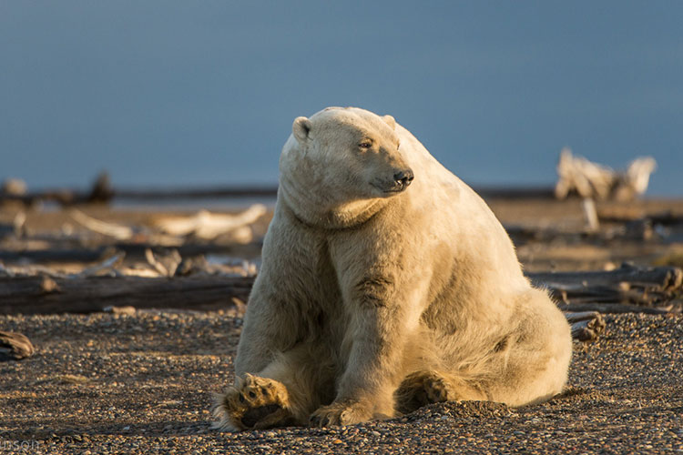 fat polar bear sitting - polar bear photography tour