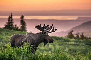 sunset_photo_safari_tour_notes_bull_moose