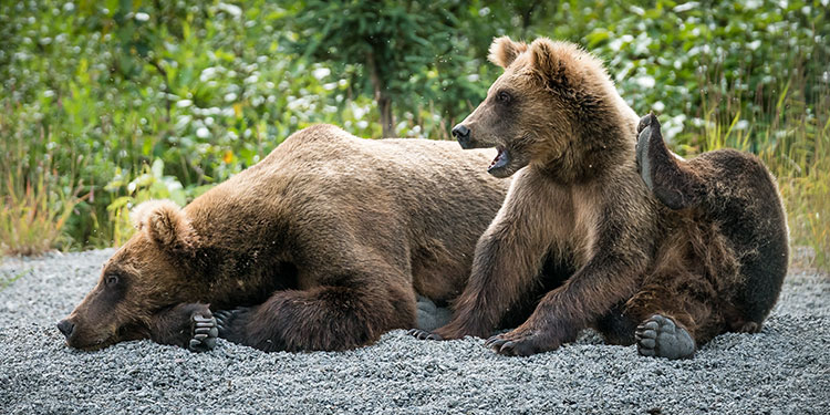 sow and cub alaska brown bear relaxing on lake beach- alaska brown bear