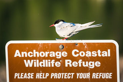 arctic tern perched on sign - smartphone photography tour