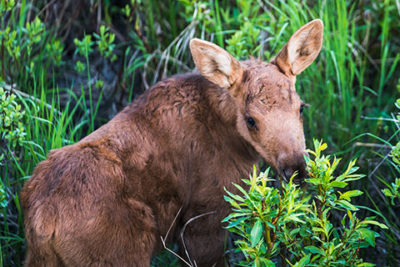 moose calf eating shrubs - smartphone photography tour