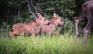 newborn moose calves traipsing after their mother in june - alaska photo tour