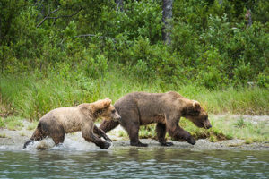 sow and cub alaska brown bear running on shore of lake - alaska brown bear