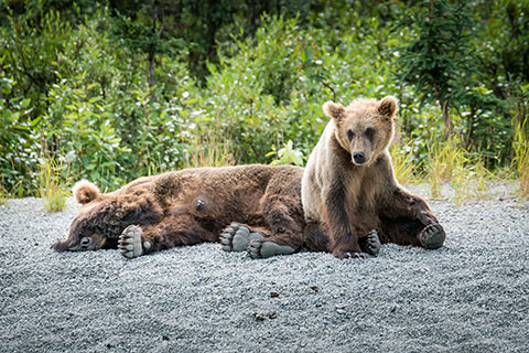 sow and cub alaska brown bear sleeping - alaska brown bear