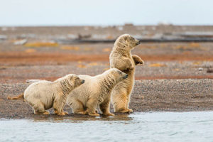 three polar bear cubs standing on bear in a row with first one standing up - alaska photography tours