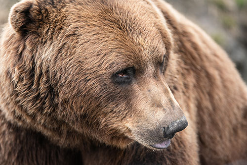 head shot of alaska brown bear - photograph alaska wildlife