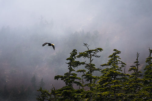 bald eagle flying in misty fjord - photograph alaska wildlife