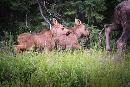 twin moose calves traipsing after their mother - photograph alaska wildlife