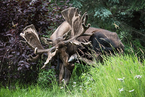 bull moose with velvet rack scratching his nose - photograph alaska wildlife