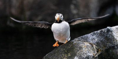 horned puffin flapping wings while standing on rookery rock - photograph alaska wildlife