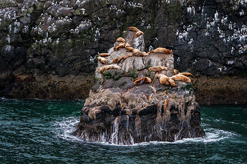 sea lions hauled out on rookery in kenai fjords national park - photograph alaska wildlife