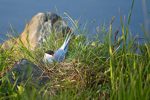 arctic tern on the nest - photograph alaska wildlife