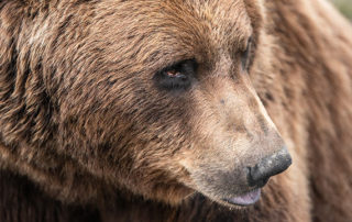 close-up head shot of coastal alaska brown bear - brown bear photo safari