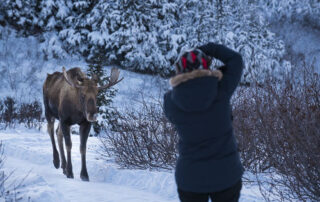Woman photographing moose