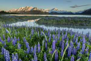 Arctic lupine with mountains