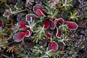 frost on alpine tundra plants