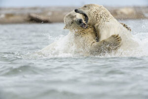 sparring polar bears - plan your next trip
