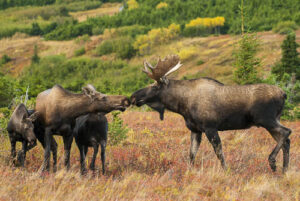 bull moose with cow and calves