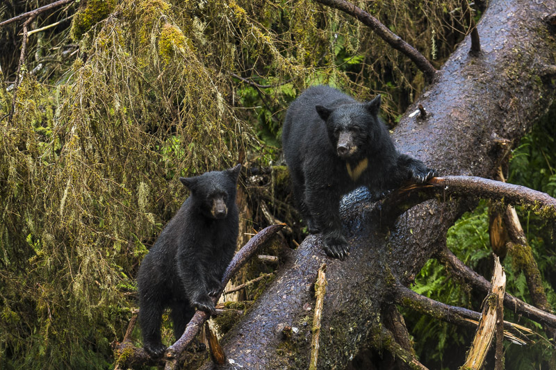 Black bears on southeast photo expedition