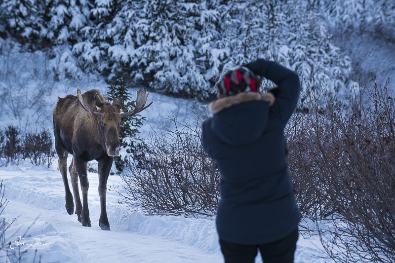 Woman photographing bull moose